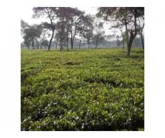 High Quality Orthodox Tea Garden Sell in Darjeeling and Dooars