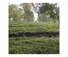 Tea Garden in Reasonable Cost at North Bengal