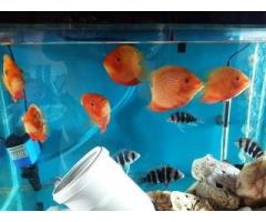 8 mm 2.5 feet modi glass aquarium with 6 severum & 6 frontossa